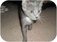 Domestic Shorthair Kitten for adoption in Tampa, Florida - Leigh
