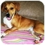 Photo 1 - Beagle/Labrador Retriever Mix Dog for adoption in Latrobe, Pennsylvania - Gunner