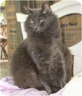 Domestic Mediumhair Cat for adoption in Maple Ridge, British Columbia - Cora - VIDEOS