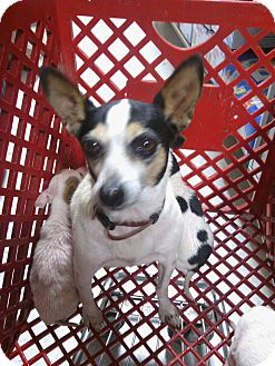 Toy Fox Terrier Dog for adoption in Parsippany, New Jersey - Lexi