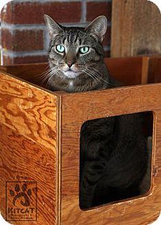 Domestic Shorthair Cat for adoption in Lancaster, Massachusetts - Sammy