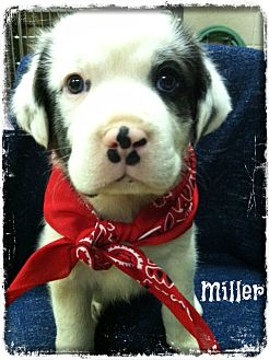 Great Pyrenees Mix Puppy for adoption in Glastonbury, Connecticut - Miller