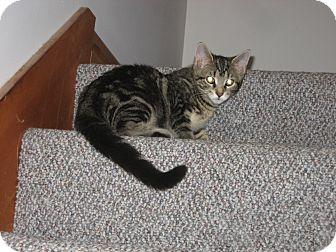 Domestic Shorthair Kitten for adoption in Portland, Maine - Linus