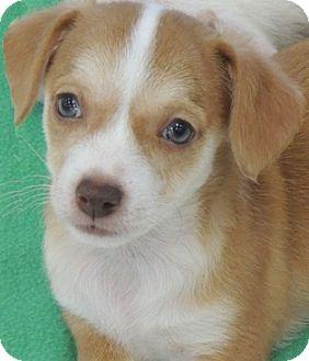 Corgi/Chihuahua Mix Puppy for adoption in La Habra Heights, California - Lee