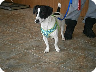 Jack Russell Terrier/Dachshund Mix Dog for adoption in London, Ontario - Griff
