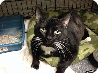 Domestic Shorthair Cat for adoption in Warwick, Rhode Island - Squeeks