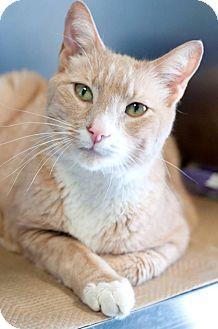 Domestic Shorthair Cat for adoption in Manahawkin, New Jersey - Bernard