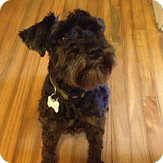 Schnauzer (Miniature) Dog for adoption in Redondo Beach, California - Faith