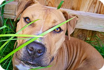 American Staffordshire Terrier Mix Dog for adoption in Reisterstown, Maryland - Chickie