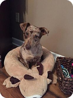 Catahoula Leopard Dog/Dachshund Mix Dog for adoption in Corinth, Mississippi - Precious