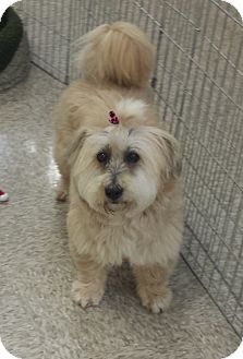 Tibetan Terrier Mix Dog for adoption in Aqua Dulce, California - Sparky