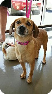 Beagle/Chihuahua Mix Dog for adoption in Champaign, Illinois - Zoey