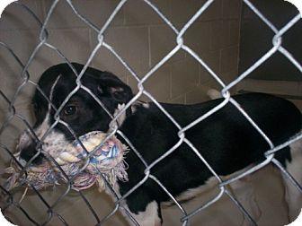 Beagle Mix Dog for adoption in Newburgh, Indiana - Elvis Sad story