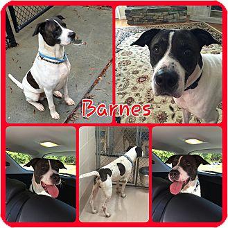 Pointer/Hound (Unknown Type) Mix Dog for adoption in Gainesville, Georgia - Barnes