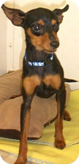 Miniature Pinscher Mix Dog for adoption in Knoxville, Iowa - Poncho