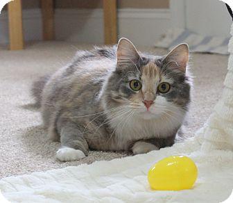 Domestic Mediumhair Cat for adoption in Carlisle, Pennsylvania - Nina