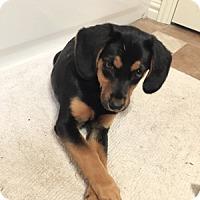Adopt A Pet :: Ellie May - Dallas, TX