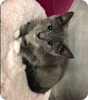 Domestic Shorthair Kitten for adoption in Milton, Massachusetts - Venus