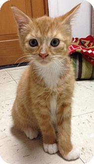 Domestic Shorthair Kitten for adoption in River Edge, New Jersey - Happy