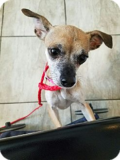 Chihuahua Mix Dog for adoption in Las Vegas, Nevada - Betty