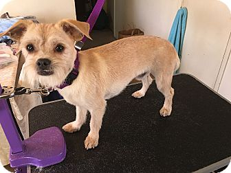 "Shih Tzu/Terrier (Unknown Type, Small) Mix Dog for adoption in Seattle, Washington - ""Chewy- Chewbacca"""