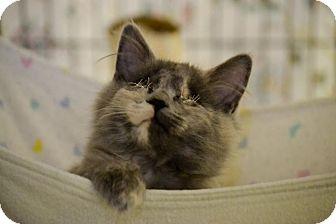 Domestic Longhair Kitten for adoption in Byron Center, Michigan - Matilda