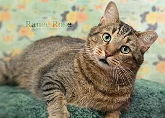 Domestic Shorthair Cat for adoption in Sterling Heights, Michigan - Donald