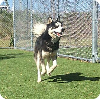 Siberian Husky Puppy for adoption in Clearwater, Florida - Phantom