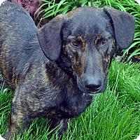 Adopt A Pet :: Clifford - Bridgeton, MO
