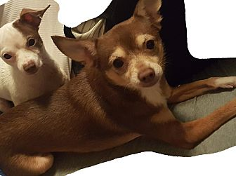 Chihuahua/Chihuahua Mix Dog for adoption in San Antonio, Texas - Duke and Chula