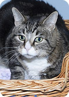 Domestic Shorthair Cat for adoption in Gatineau, Quebec - Ted