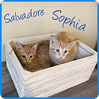Adopt A Pet :: Salvadore - Covington, KY