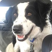 Adopt A Pet :: Gunner-fostered in Mpls - Ada, MN