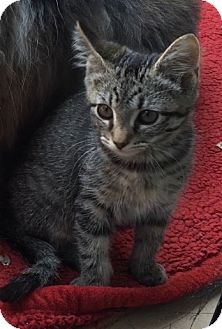 Domestic Mediumhair Kitten for adoption in Palo Alto, California - Tristan