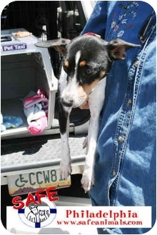 Fox Terrier (Smooth) Mix Dog for adoption in tucson, Arizona - Philadelphia