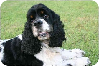 Cocker Spaniel Mix Dog for adoption in Mentor, Ohio - Charlie 4yr Adopted