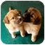 Photo 1 - Chow Chow/Retriever (Unknown Type) Mix Puppy for adoption in Slidell, Louisiana - Ming-Ping-Ching