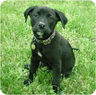 Labrador Retriever Mix Puppy for adoption in Front Royal, Virginia - Tanner