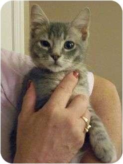 Domestic Shorthair Kitten for adoption in Reston, Virginia - Lucy
