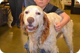 English Setter Dog for adoption in Davison, Michigan - Gunner