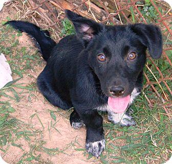Australian Shepherd/Corgi Mix Puppy for adoption in Allentown, Pennsylvania - Raven