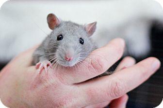 Rat for adoption in Port Hope, Ontario - Basil