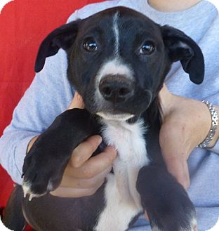Labrador Retriever/Boxer Mix Puppy for adoption in Oviedo, Florida - Bam
