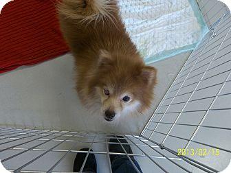 Pomeranian Dog for adoption in Daleville, Alabama - Jasmine