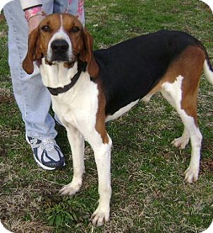 Treeing Walker Coonhound Dog for adoption in Union City, Tennessee - Jethro