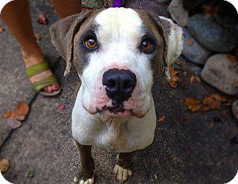American Bulldog Mix Dog for adoption in Virginia Beach, Virginia - Walter