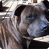 Adopt A Pet :: Shug (as in Sugar Bear) - Somers, CT