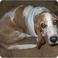 Adopt A Pet :: Luci - Albuquerque, NM
