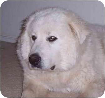 Great Pyrenees Puppy for adoption in Kyle, Texas - <B>Don King - Pending