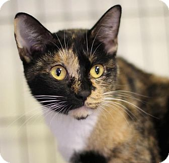 Domestic Shorthair Cat for adoption in Winston-Salem, North Carolina - Cici